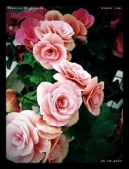 cameron_flower